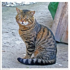 Tiggi - friendly cat of neighbors