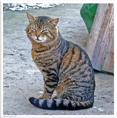 Tiggi - friendly cat of neighbors