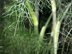 Fennel Forest