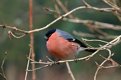 Bullfinch (Sybalan,) Tags: benmoregardens feeding feathered birds blueskies bullfinches outdoor ornithology bird buds cowal canon 760d 55250mm cold colorful wildlife westcoast botanicalgardens