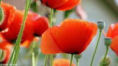 papachic (tacosdepolenta) Tags: italy flower primavera mexico spring italia flor alcatraz fiore papaveri amapolas amapola brendasalinas tacosdepolenta
