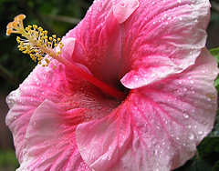 Pink Hibiscus Flower, taken after a shower from the skies.. (Anushruti RK) Tags: pink flower macro garden hibiscus waterdrops soe excellence pinkflowers mywinners shieldofexcellence impressedbeauty superbmasterpiece diamondclassphotographer ysplix flowersmakeeveryonehappy goldstaraward anushruti pinkhibiscusflower excellentsflowers
