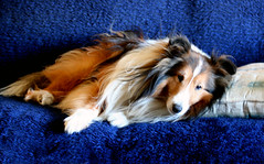 Thank heavens mom's back from Texas! (giori) Tags: dog dogs sheltie drew gpack