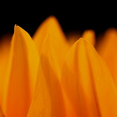 Flaming desire! (cattycamehome) Tags: flowers summer orange black hot flower macro love yellow tag3 taggedout fire petals lyrics bravo warm tag2 tag1 heart bright bokeh song flames petal desire flame sunflowers heat sunflower lust flaming flicker billnelson catherineingram november2007 cattycamehome diamondclassphotographer soulsresonance singalongacatty