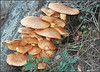(outro_olhar79) Tags: nature toadstool cogumelos