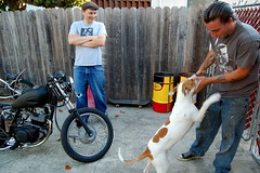 (Todd Duvall) Tags: friends dog pet animal bike bikes canine terrier staffordshire pittbull k9 mortorcycle