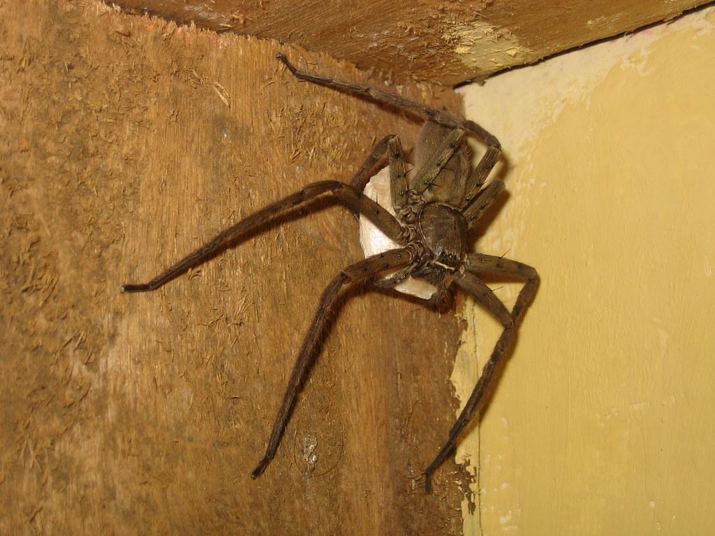 araña con huevas en guinea ecuatorial