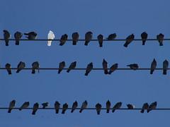 white_bird_must_fly (sillydog) Tags: blue sky white black bird brooklyn portland pigeon oddball eastsideindustrialdistrictoregon
