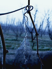 Brina. (inka7791) Tags: winter cold ice nature wine brina natura spine uva inverno freddo ghiaccio vigna