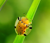 A Tortoise Beetle, Aspidimorpha miliaris -- looks like a bug with a raincoat