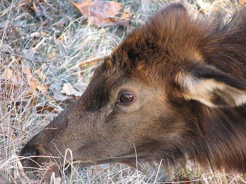sub-adult elk eye close up