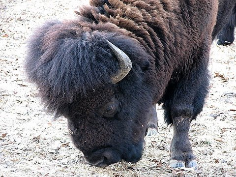 bison bull head closeup