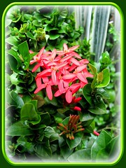 Ixora 'Indian Rope' (Jungle Flame/Geranium, Flame of the Woods, Needle Flower) in our garden