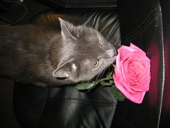 Nietzsche & Rose (Leya :P) Tags: pink red portrait black face rose cat nose grey eyes smell russianblue platinumheartaward