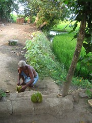 hacking off the coconut husks (gradyo) Tags: india kerala backwaters alleppey