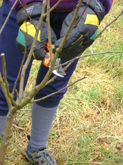 Pruning Young Apple Tree