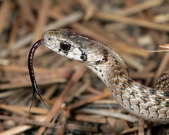 Dekay's Brown Snake--tongue down (cotinis) Tags: reptile snake northcarolina piedmont eol umsteadstatepark colubridae naturesfinest storeria brownsnake storeriadekayi dekaysbrownsnake canonef100mmf28macrousm dekayssnake taxonomy:binomial=storeriadekayi