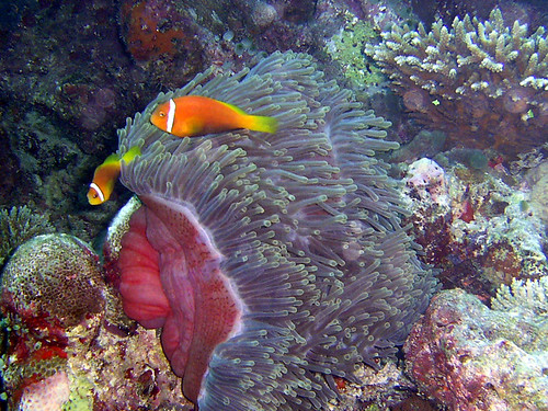 Maldives - Black-footed clown fish