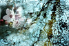 spring bee abstract (jodi_tripp) Tags: abstract water manipulated spring blossom digitalart plum bee layers firstquality joditripp challengeyouwinner wwwjoditrippcom photographybyjodtripp
