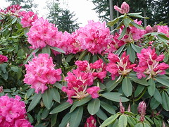 markeetaprize_plant (lwampach) Tags: garden nursery rhododendron rhodies laketappsrhododendron
