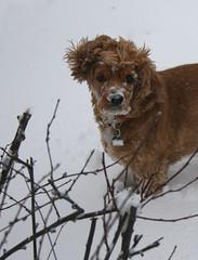 Last Day of Snow Play (beautyinmetal) Tags: winter dog snow cute last puppy fun spring sticks funny soft adorable fluffy curls ear spaniel cocker snowfall flipped