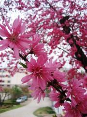 Waegwan Cherry Blossoms