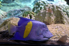 Some fish I don't know -- purple kasi eh