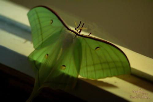 Some kind of miller (moth)