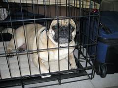 caged pug