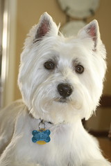 Wee Westie - Pretty Boy (Randy Son Of Robert) Tags: dog pet white face 510fav westie canine terrier stare westhighlandwhiteterrier yoshi abigfave