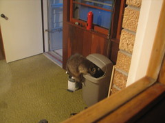 don't dogs eat dog food? (Midwest Family Life) Tags: wild house eating dogfood masked bandit racoon pest robber breezeway