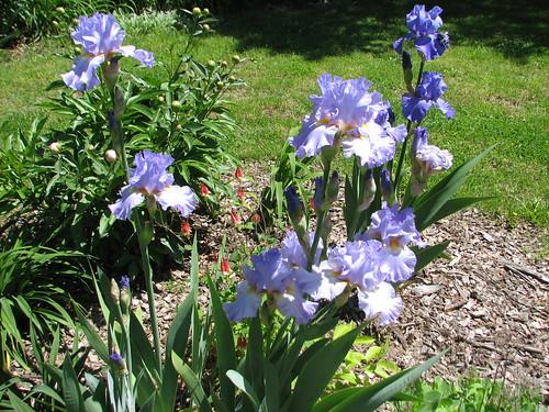 unknown iris