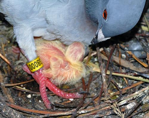 Pigeon Parenting