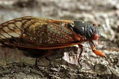 May 29th, 2008 Cicada Brood (rotcav) Tags: cicadas brood appalachias