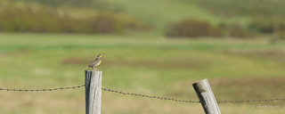 Happy Fence Friday (HFF) Meadowlark Style