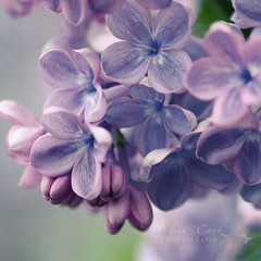It's lilac time  (slcook52 (Sylvia)) Tags: flower macro washington purple bokeh explore lilac naturesfinest bellevuebotanicalgarden sigma105mmf28 perfectpurplesaturday copyrightedallrightsreserved