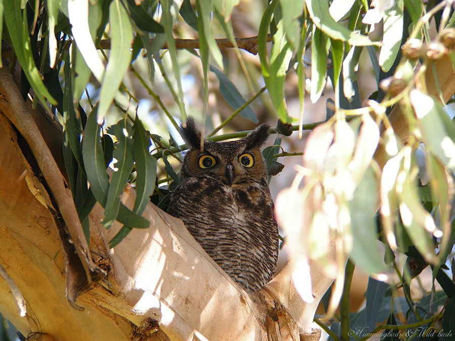 Great Horned Owl 05091-2
