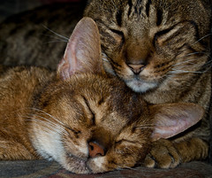 qk (_603_) Tags: cats cute cat nikon ocicat sleeeping d40x habesian