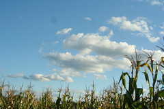 corn and big sky