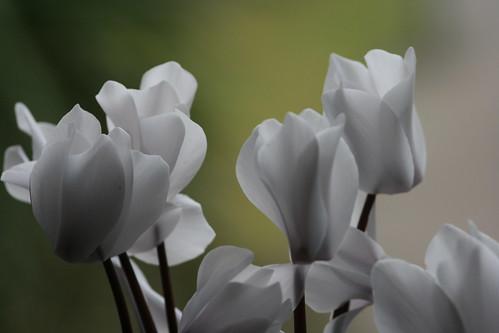 Bunch of White Cyclamen