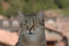 DSC_0011 Mixa (visol) Tags: cat gata chatte mixa bestofcats