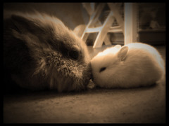 bunny love  [ClickLinkBelow] (Antonio Galati) Tags: white rabbit bunny love mom nose mother pup poil bianco blanc amore tender lapin conigli mignon conejos