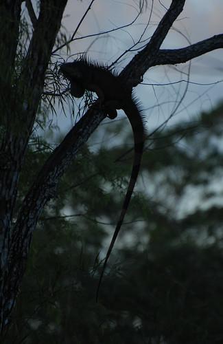Danger Iguana