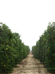 Orange groves on a big scale near Venus, Florida, USA