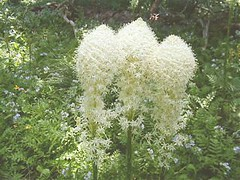 3 beargrass (madriverrose) Tags: cassidy patricia bestnaturetnc06