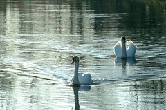 droite / to the right (OliBac) Tags: bird water birds swan eau swans oiseau cygne cygnes scarpe oiseaux olibac aplusphoto anzinsaintaubin