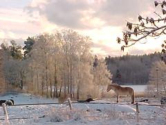 Vinterlandskap (tompa2) Tags: häst träd skog sjö lommaren norrtälje roslagen uppland sweden vinter snö sverige horse inverno cheval hiver