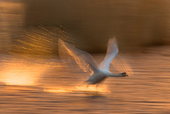 Flight (wentloog) Tags: sea sun reflection bird water birds wales backlight sunrise canon contraluz eos gold dawn golden coast fly flying interestingness swan gallery wing cardiff spray explore motionblur takeoff cardiffbay contrejour controluce wfc contrallum 400d canoneos400d wentloog welshflickrcymru favemegroup4 stevegarrington world100f ef100400f45l wetlandsanctuary