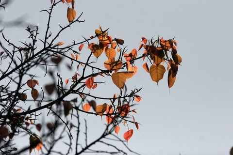 peepal leaves in sunlight lalbagh 010308