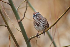 song sparrow - melospiza melodia (jeslu) Tags: bc burnaby songsparrow melospizamelodia mywinners